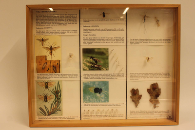 Insectendoos. Hymenoptera (vliesvleugeligen).