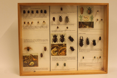 Insectendoos. Coleoptera: Scarabaeidae (bladspriet- en mestkevers).