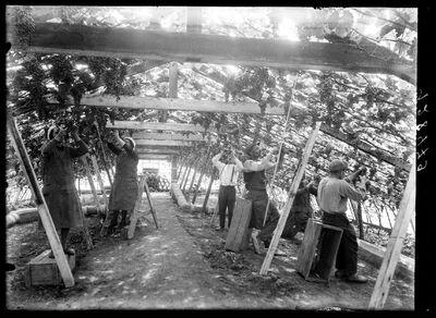 Druivenpluk te Hoeilaart
