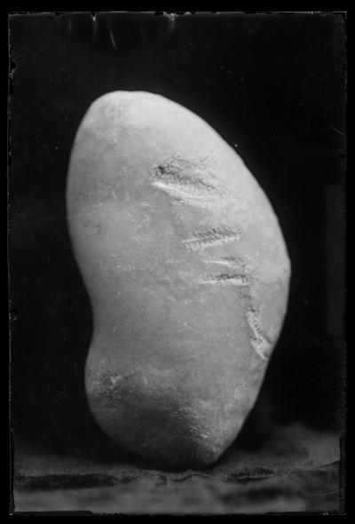 Fósil de helechos