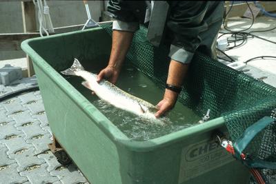 Markierung von Fischen am Fischpass