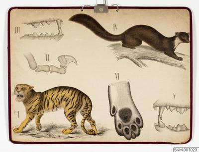 plansch, skolplansch, Rofdjur (tiger, mård)