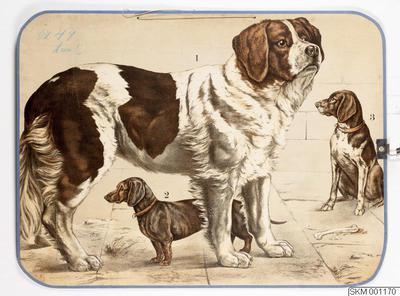 skolplansch, plansch, Hundar (Sankt bernhardshund, tax, vorstehhund)