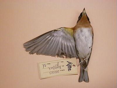 bergfink, fågel