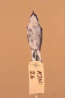fågel, stenskvätta