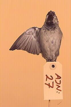 gråsparv, fågel