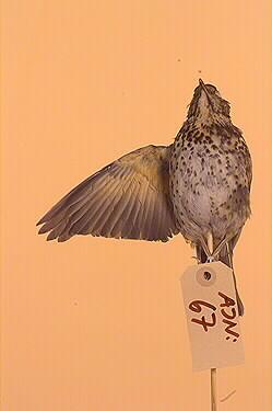taltrast, fågel