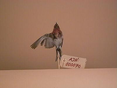 gråsiska, fågel