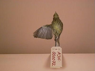 fågel, gulsparv