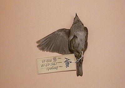 järnsparv, fågel