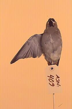 fågel, sidensvans