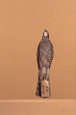 sparvhök, fågel
