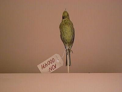 gulsparv, fågel