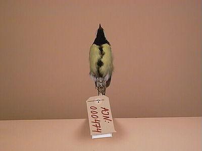fågel, talgoxe