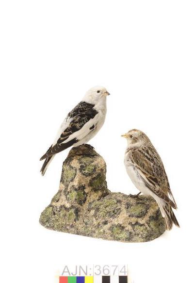 fågel, snösparv