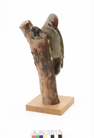fågel, gråspett