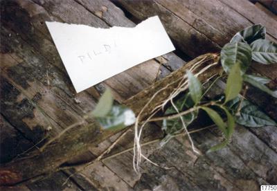 botanik, föremål, blomma, prov, föremålsbild, pildi, fotografi, photograph@eng