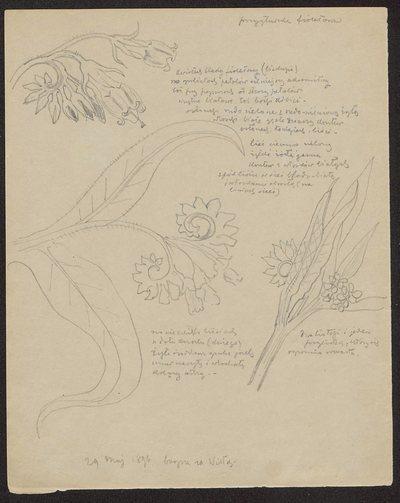 Przygłuszka fioletowa (recto) Gwiazda różowa, łąkowa (verso)