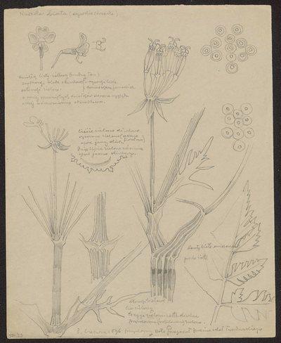 Koniczynka różowa (recto) Kaszka biała, wysokie krzaki (verso)
