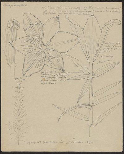Lilia płomykowa (recto) Rodzaj rzepaku, krzak duży bujny (verso)