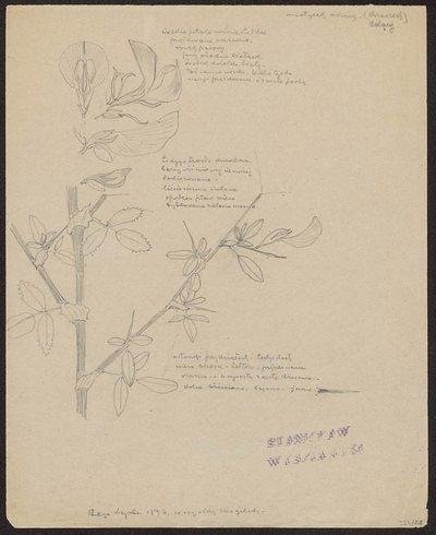 Pyszczki żółte (recto) Motylek różowy, krzaczek kolący (verso)