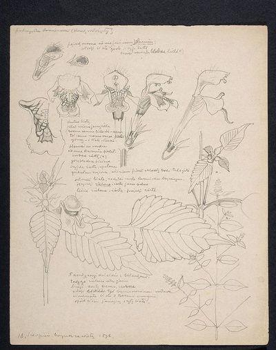 Pokrzywka karminowa, krzew rozłożysty (recto) Warkocze amarantowe (verso)