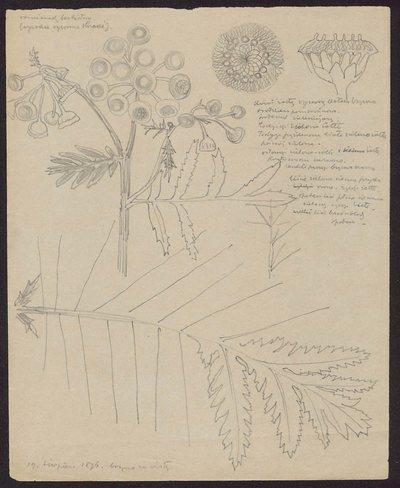 Rumianek bezlistny, wysokie ogromne kraki (recto) Warkocze żółte (verso)