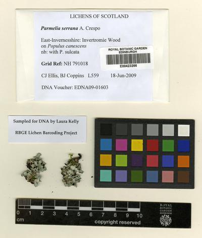 Parmelia serrana A. Crespo, M.C. Molina & D. Hawksw.