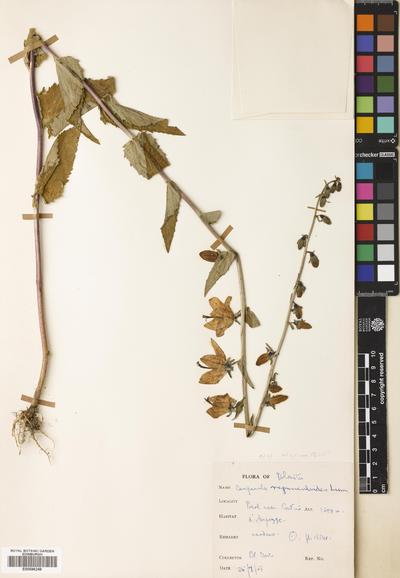 Campanula rapunculoides L.