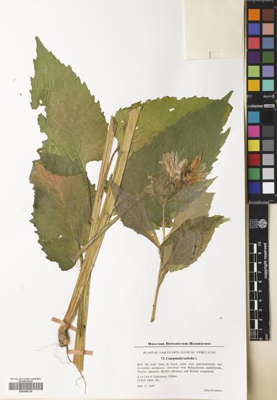 Campanula latifolia L.