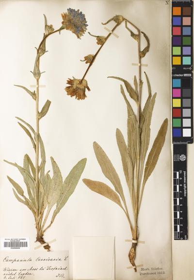 Campanula cervicaria L.