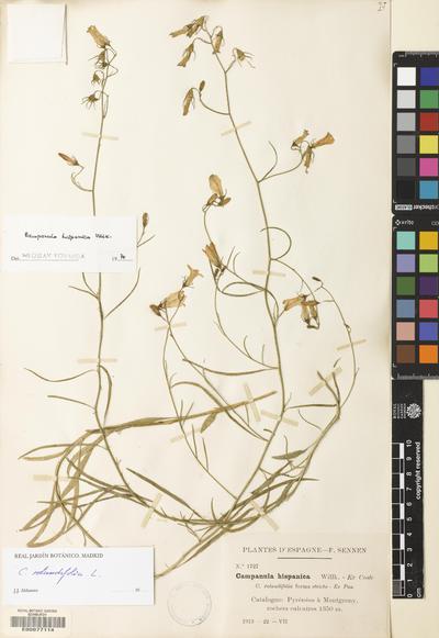Campanula rotundifolia L.