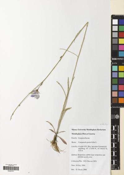 Campanula persicifolia L.