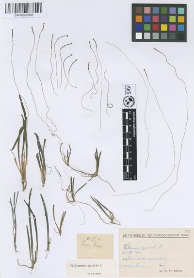 Vallisneria spiralis L.