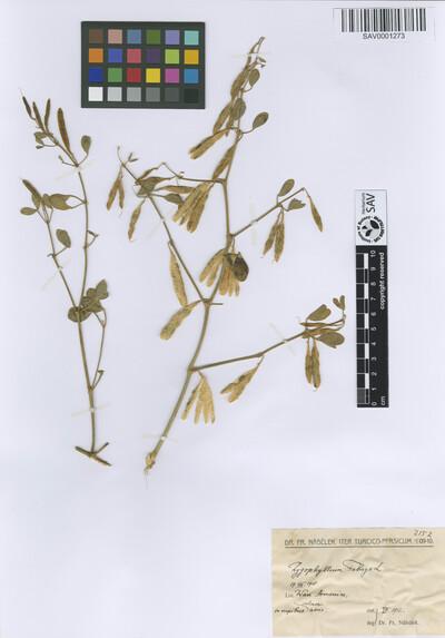 Zygophyllum fabago L.