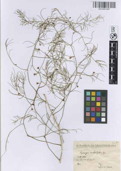 Asparagus trichophyllus Bunge