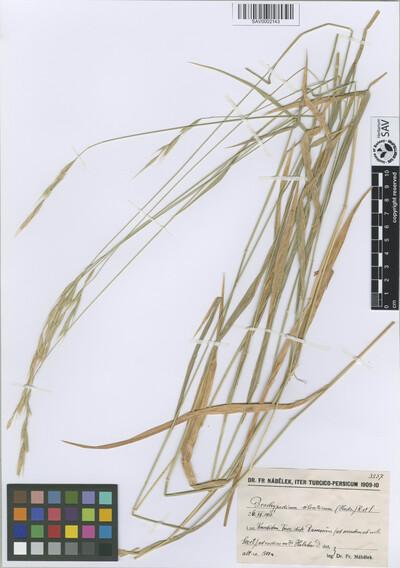 Brachypodium sylvaticum (Huds.) P. Beauv.