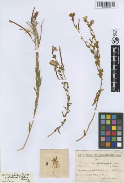 Epilobium steveni Boiss. f. glabrum (Nábělek) P.H. Raven