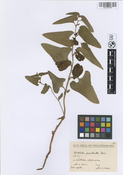 Aristolochia paecilantha Boiss.