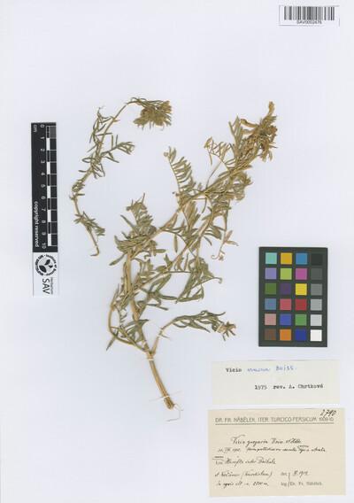 Vicia gregaria Boiss. & Heldr.