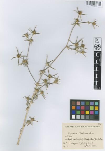 Eryngium creticum Lam.