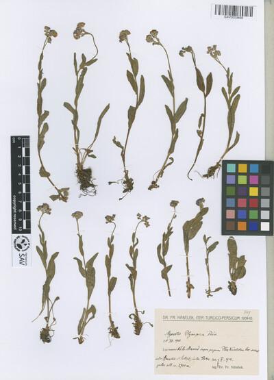Myosotis olympica Boiss.
