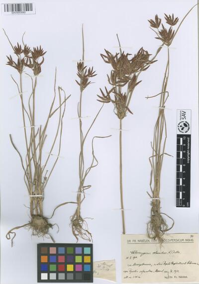 Chlorocyperus rotundus (L.) Palla