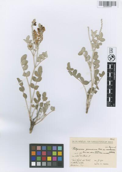Hedysarum pannosum (Boiss.) Boiss. var. assyriacum Nábělek