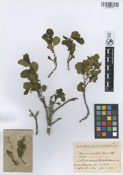 Rhamnus cornifolia Boiss. & Hohen.