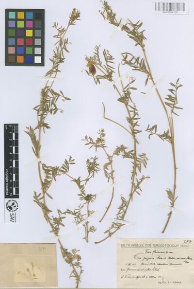 Vicia gregaria Boiss. & Heldr. var. flavescens Nábělek