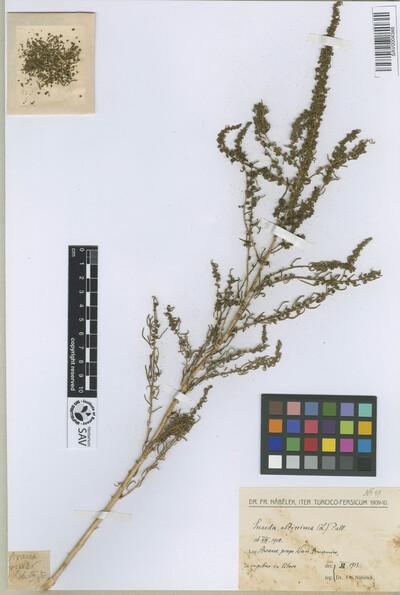 Suaeda altissima (L.) Pall.