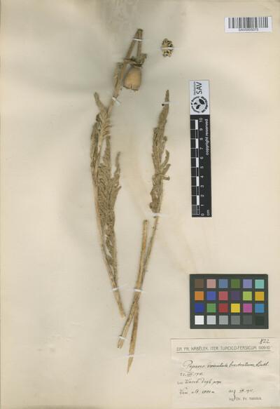 Papaver bracteatum Lindl.