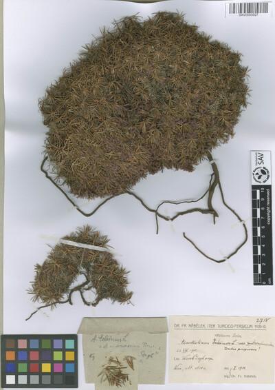 Acantholimon roseum Boiss.