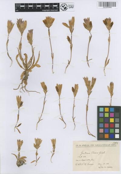 Gentiana olivieri Griseb.